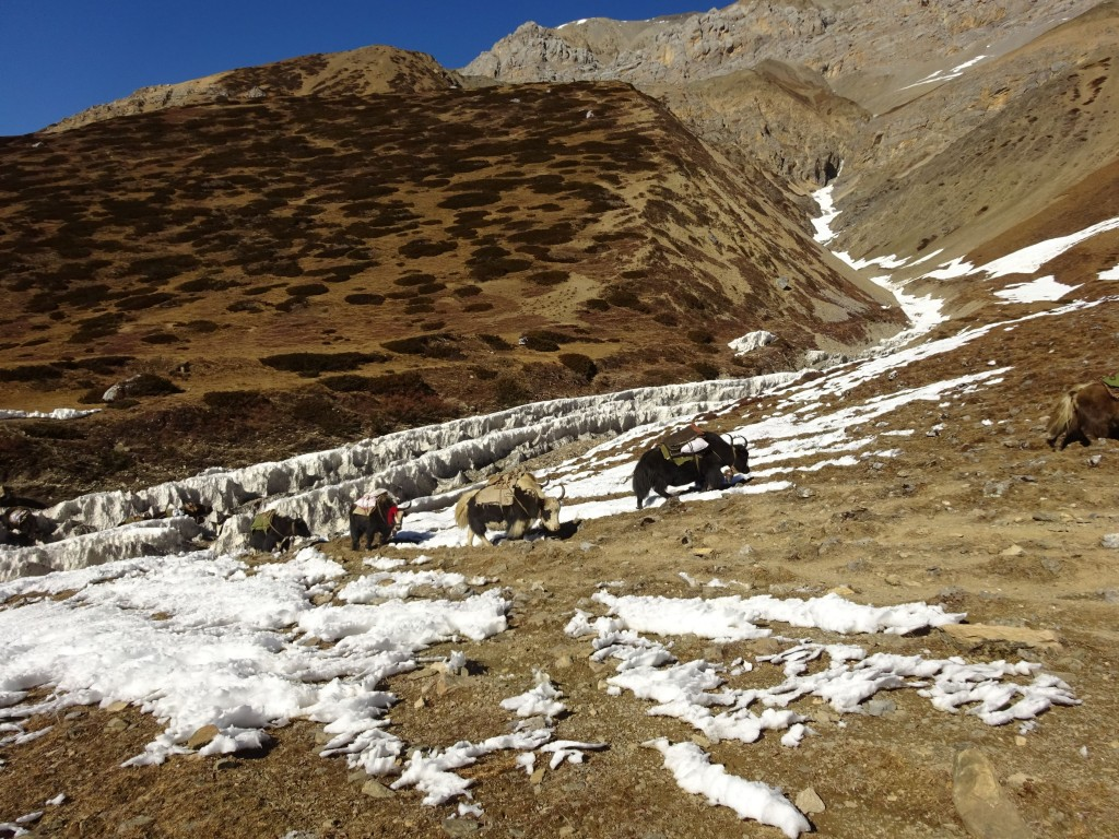 Yaks on their way to Tibet near the Ngula Dhojyang Pass